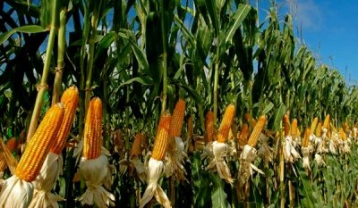 Poultry producers welcome maize import liberalization; increased production, revenues, exports anticipated